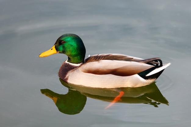 Piękny kaczki dopłynięcie w jeziorze