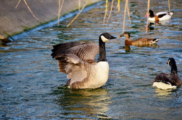 Piękny kaczki dopłynięcie w stawie