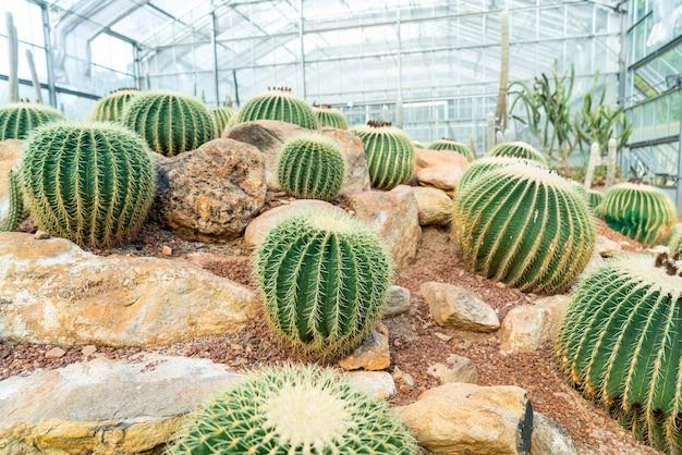 Piękny kaktus w ogrodzie w ogrodzie botanicznym queen sirikit chiang mai, tajlandia