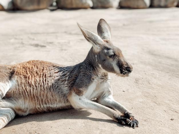 Piękny kangur odpoczywa na piasku. fotografia zwierząt. naturalne tło.