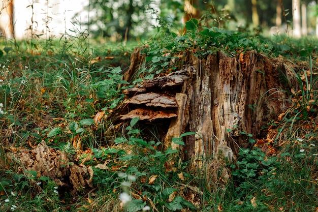 Piękny kikut w lesie