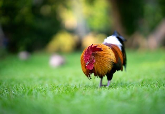Piękny kogut stojący na trawie w niewyraźnym zielonym tle przyrody
