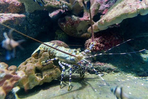 Piękny kolczasty homar w rafie koralowej.