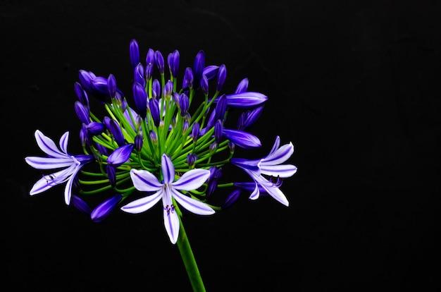 Piękny kolor niebieski i fioletowy lily afrykańskie (cape blue lily) kwitnące w ciemności
