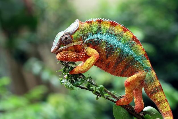 Piękny kolor pantery kameleon, pantera kameleon rozglądająca się na gałęzi
