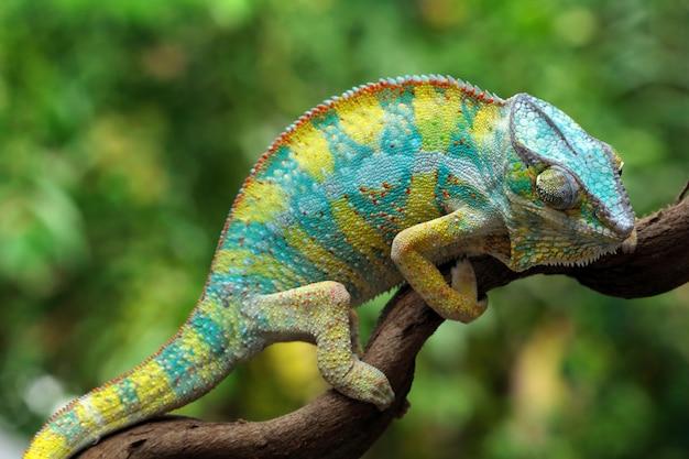 Piękny kolor żółtego kameleona