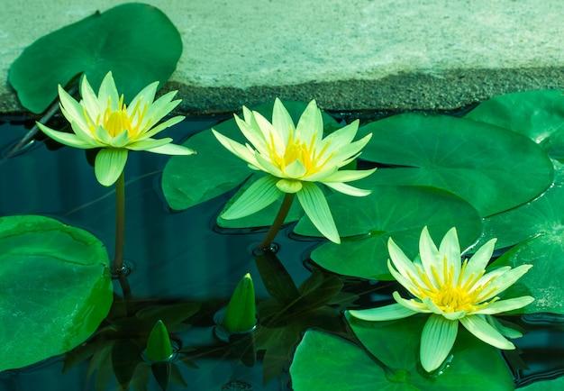 Piękny kolor żółty waterlily lub lotosowy kwiat w stawie