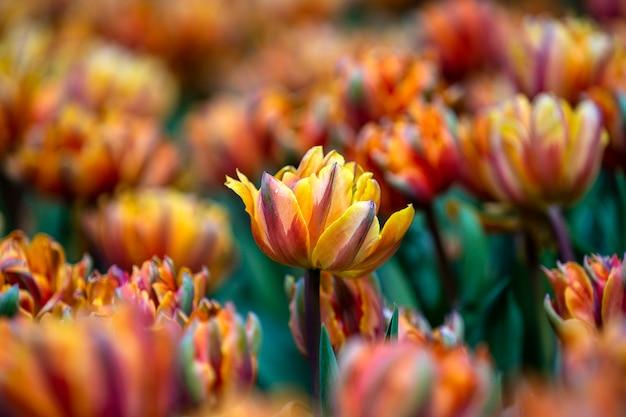 Piękny kolorowy czerwony i żółty tulipanu tło. pole wiosennych kwiatów. tulipany kwiat łóżko w danang, wietnam