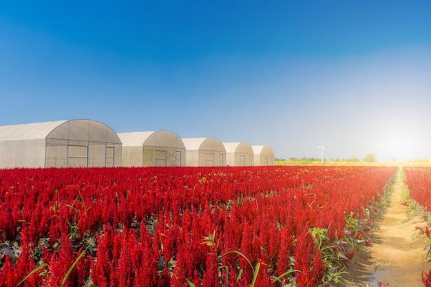 Piękny kolorowy czerwony lub różowy zarozumialec celosia kwiaty wzór gospodarstwa kwitnący w ogrodzie powietrza atmosfera jasne błękitne niebo natura tło w kamphaeng phet, tajlandia