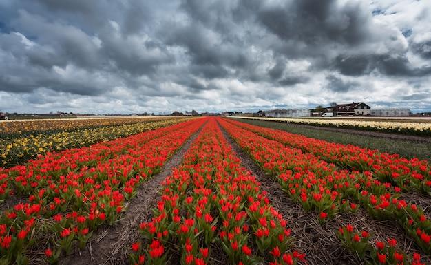 Piękny kolorowy czerwony tulipan kwitnie w wiosny polu