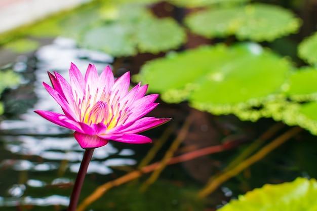 Piękny kolorowy kwiat lotosu w wodzie.