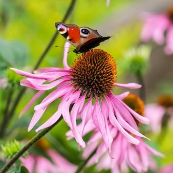 Piękny kolorowy motyl europejski paw inachis io aglais io na fioletowy kwiat echinacea w