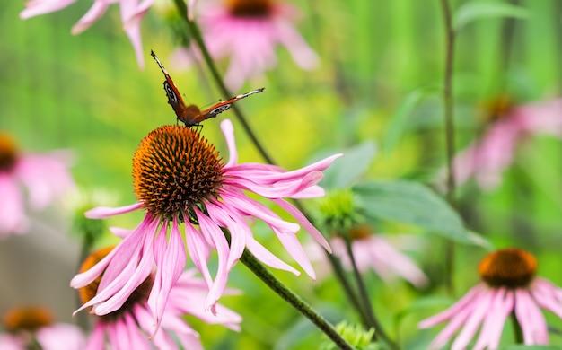 Piękny kolorowy motyl europejski paw inachis io aglais io na fioletowym kwiatku echinacei