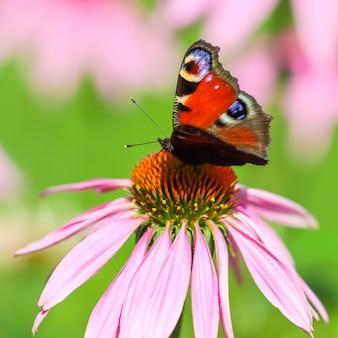 Piękny kolorowy motyl europejski paw na fioletowym kwiatku echinacei w słonecznym ogrodzie