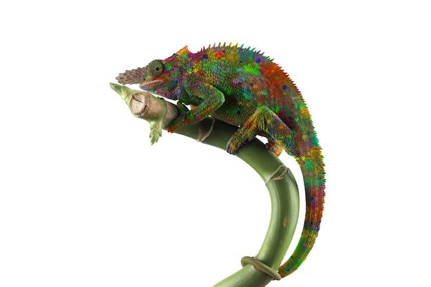 Piękny kolorowy obraz kameleona fishcer