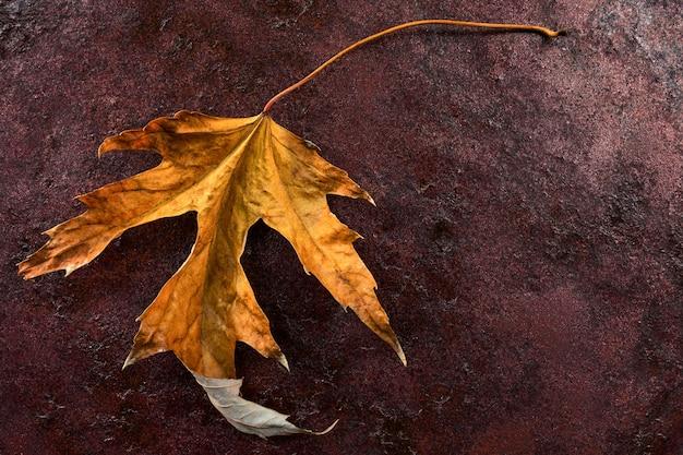 Piękny kolorowy żółty jesienny liść acer saccharinum powszechnie znany jako klon srebrny