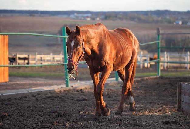 Piękny koń idący w pobliżu ogrodzenia. niedziela