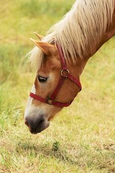 Piękny koń jedzący trawę