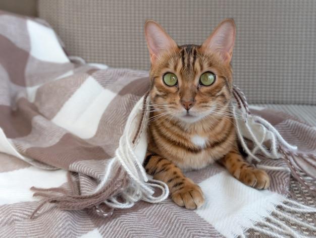 Piękny kot bengalski przykryty kocem w kratkę