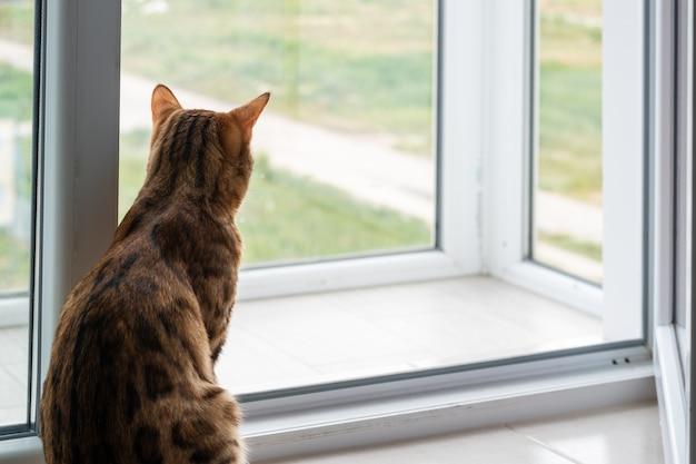 Piękny kot bengalski wygląda przez okno