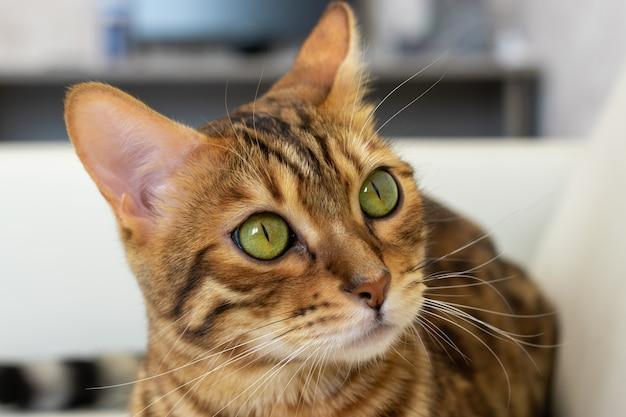 Piękny kot bengalski wygląda w zamyśleniu z boku, zbliżenie, rozmyte tło