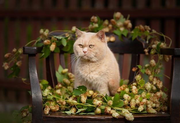 Piękny kot brytyjski krótkowłosy siedzi na krześle z rośliną chmielu.