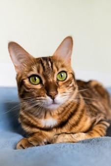 Piękny kot krótkowłosy cętkowany leżący na kanapie w domu