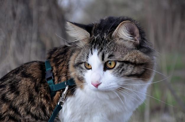Piękny kot kurylski bobtail spaceruje na wiosnę w parku na smyczy