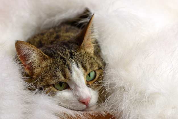 Piękny kot pod puszystym białym kocem.