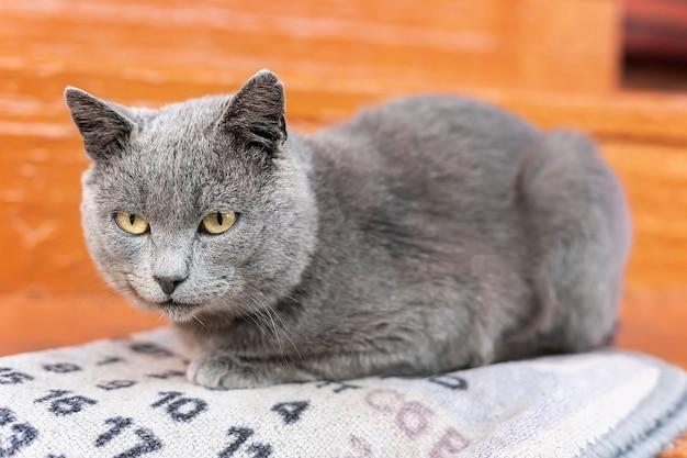 Piękny kot rosyjski niebieski spaceruje po parku