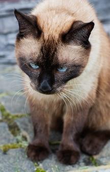 Piękny kot syjamski siedzi na zewnątrz