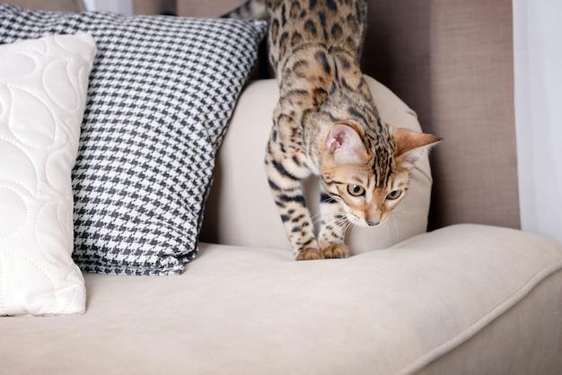 Piękny kotek bengalski na kanapie w pokoju