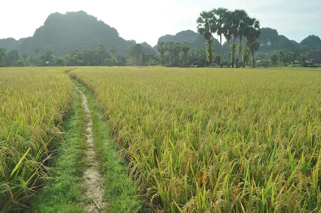 Piękny krajobraz krasowy w maros, south sulawesi, indonezja, otoczony polem ryżowym.
