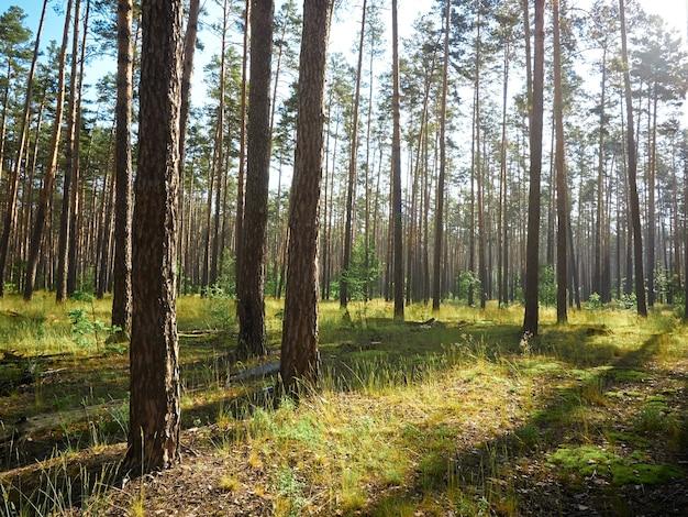 Piękny krajobraz lasu sosnowego w letni dzień.