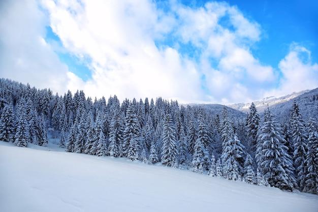 Piękny krajobraz ośnieżonego lasu jodłowego w górskim kraju