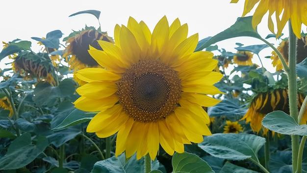 Piękny krajobraz, piękny i jasny żółto-złoty słonecznik w polu w jasny słoneczny dzień. zdjęcie koncepcji ekologii. przemysł rolniczy. przemysł rolniczy. idealna tapeta.