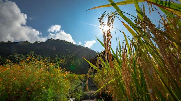 Piękny krajobraz. pola ryżowe w wiosce pa pong pieng, mae chaem, chiang mai, tajlandia.