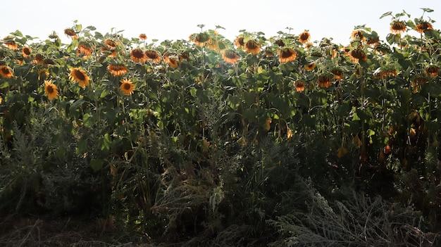 Piękny krajobraz, pole pięknych i jasnych żółto-złotych słoneczników w jasny słoneczny dzień. zdjęcie koncepcji ekologii. przemysł rolniczy. idealna tapeta. przemysł rolniczy.