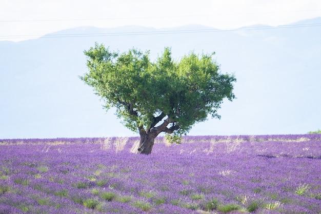 Piękny krajobraz przyrody z polem kwiatów lawendy, samotnym zielonym drzewem i sylwetką góry w tle. malowniczy widok kwiatów lawendy z drzewem i górskim niebem