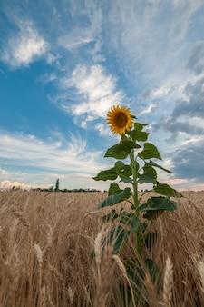 Piękny krajobraz rolniczy, widok na pola uprawne z polem słoneczników i majestatyczne niebo