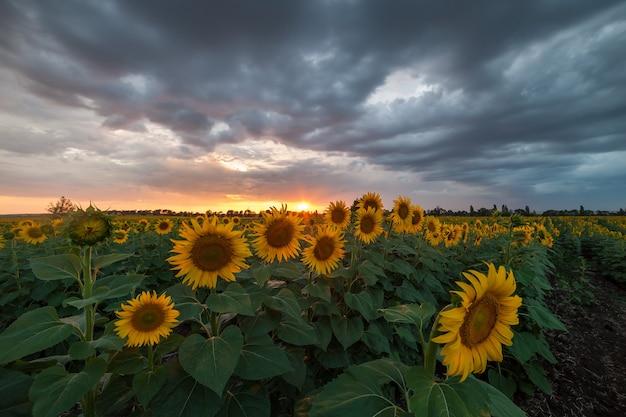 Piękny krajobraz rolniczy, widok na pola uprawne z polem słoneczników i pięknym niebem