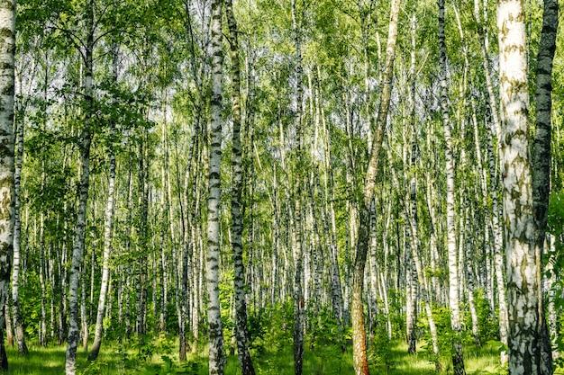 Piękny krajobraz. rosyjski las. pnie białej brzozy.