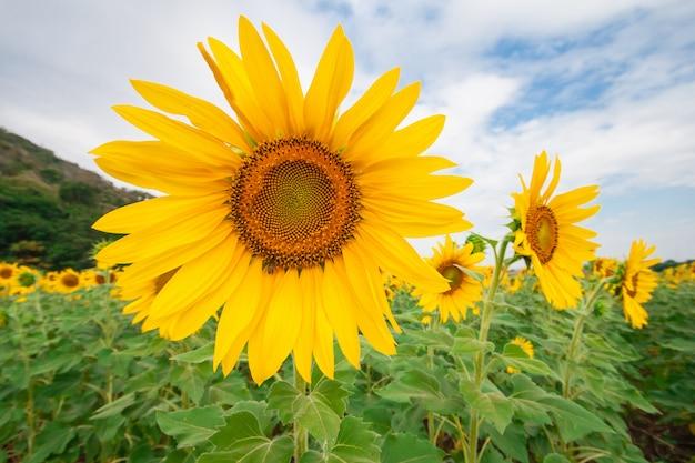Piękny krajobraz słonecznika pole z chmurnym niebieskiego nieba i zieleni góry tłem