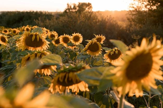 Piękny krajobraz słonecznikowe pole