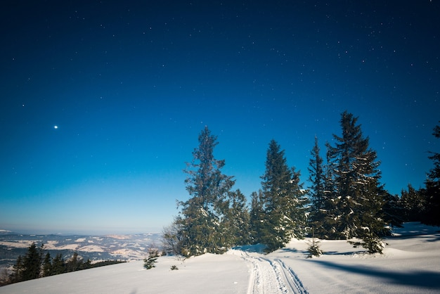 Piękny krajobraz z majestatycznymi wysokimi jodłami rosnącymi wśród białych zasp na tle błękitnego nieba w słoneczny, mroźny zimowy dzień. koncepcja trekkingu i wakacji ekologicznych. przestrzeń reklamowa