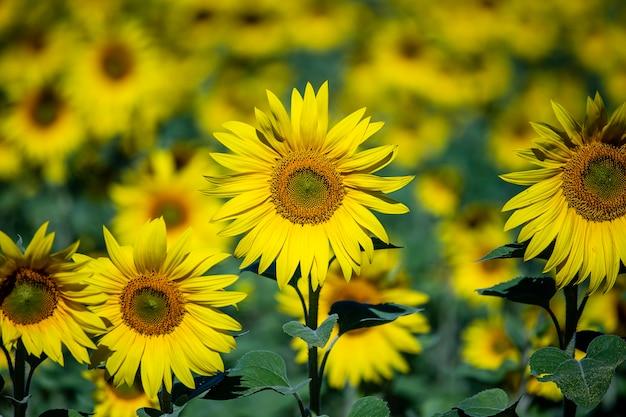 Piękny krajobraz z polem słonecznika. koncepcja natury. pole słoneczników w tle