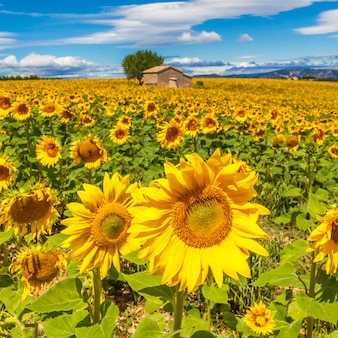 Piękny krajobraz z polem słonecznikowym na zachmurzone błękitne niebo i jasne światła słoneczne
