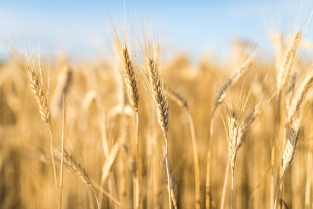 Piękny krajobraz z przyprawami pszenicznymi