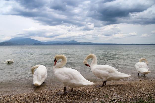 Piękny krajobraz z wdzięcznymi białymi łabędziami leży na brzegu słynnego włoskiego jeziora garda.