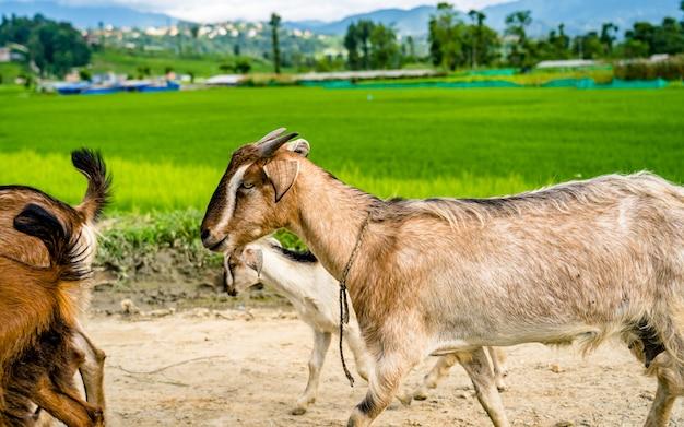 Piękny krajobraz z widokiem na pola uprawne summer paddy i chodzące kozy khojana lalitpur nepal